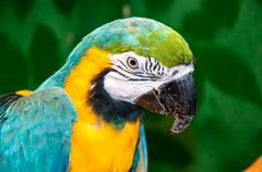 Blue-and-yellow macaw or ara ararauna Stock Photos