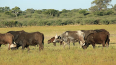 African or Cape buffaloes with calves Stock Footage