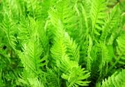 Stock Photo of Leaves of a fern