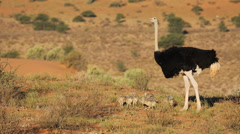 Male ostrich with chicks, African wildlife safari, South Africa Stock Footage