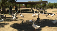 Geese and ducks in park with people Stock Footage