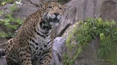 Stock Video Footage of Jaguar, Panther, Cat, Carnivore, Jungle, Waterfall, 4K, UHD