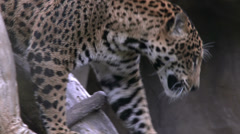 Jaguar aka Panther a Spotted Jungle Cat Stock Footage