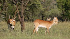 Red lechwe antelopes in natural habitat Stock Footage