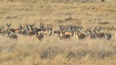 Herd of springbok antelopes, Kgalagadi Transfrontier Park, South Africa Stock Footage