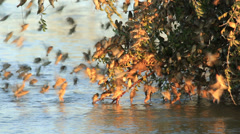 Noisy red-billed Queleas drinking water on the wing Stock Footage