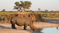 White rhinoceros drinking water, African wildlife safari, South Africa - stock footage
