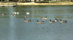 Geese and ducks swimming on lake in park Stock Footage