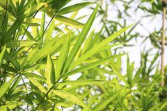 bamboo leaf - stock photo