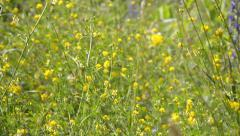 Stock Video Footage of Yellow Alfalfa