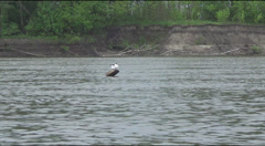 Oystercatcher on driftwood in the water Stock Footage