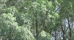 Oriole in the branches of willow Stock Footage