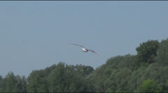 River gulls fishing Stock Footage