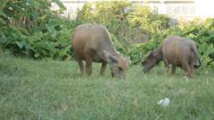 Buffalo eating grass Stock Footage