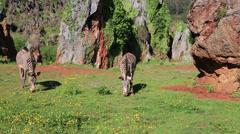 Wild Zebra feeding in the grassland plains of Lake Nakuru, Kenya, Africa. Stock Footage