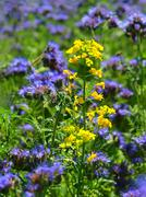Detail of blooming rapes between fresh Purple Tansy in field in background. Stock Photos