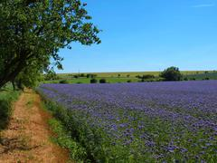 Purple Tansy field in countryside in hot summer day. Green blue purple flowers Stock Photos