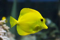 Zebrasoma yellow tang fish Stock Photos