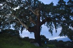 """""""el abuelo"""" tree - stock photo"""