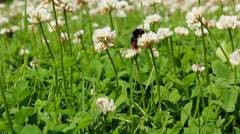 Bumblebee pollinating clover flowers Stock Footage