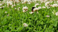 Stock Video Footage of Bumblebee pollinating clover flowers