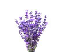 Bunch of lavender. - stock photo
