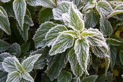 Frosty nettle - stock photo
