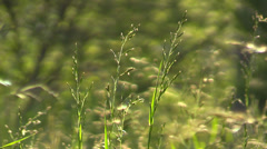 Ears of wild grass on the meadow on a background of flying mosquitoes at sunset Stock Footage