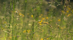 Ears and yellow flowers of wild grass on the sunset summer meadow Stock Footage