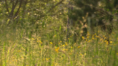 Ears, mosquitoes and yellow flowers of wild grass on the sunset summer meadow Stock Footage