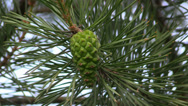 Stock Video Footage of Green pine cone on a pine tree grow