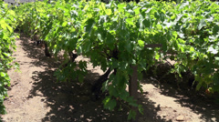 Grape vineyard growing fresh fruit HD Stock Footage