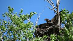 Baby Bald Eagle Trying to Fly, Annoying His Brother Stock Footage