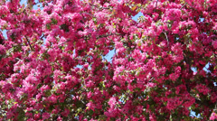 Flowering Crab Tree in Spring Stock Footage