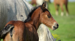 White mare and foal brown grazed in a meadow Stock Footage