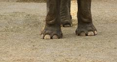 asian elephant hoof - stock photo