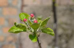 Stock Photo of Rosebuds blossoming apple