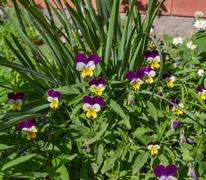Small yellow purple pansies in garden - stock photo