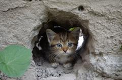 Stock Photo of Wee  gray tabby kitten hiding in the hole walls