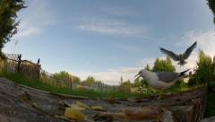 Seagull fly and bite food on a rural background. Stock Footage
