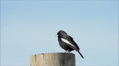 Lark bunting perching on post while singing its beatiful song - stock footage