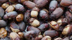 Scarab beetle Stock Footage