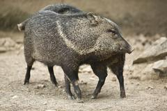 collared peccary rub against each other - stock photo