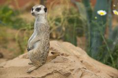 alert meerkat on rock - stock photo