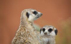 Two alert meerkats Stock Photos