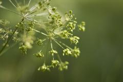 Fennel (foeniculum vulgare) Stock Photos