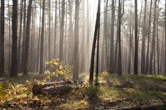 autumn dawn in forest. morning sun beams or rays in autumn park or forest - stock photo