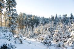 White conifers Stock Photos