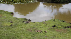 Mother duck with baby ducklings on riverbank Stock Footage