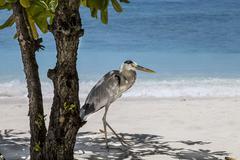 gray heron - stock photo